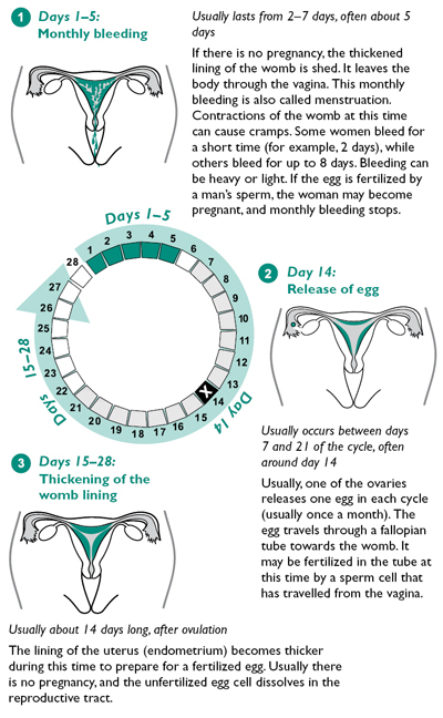 The Menstrual Cycle, Days 1 through 28